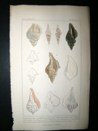 Cuvier C1835 Antique Hand Col Print. Shells #26